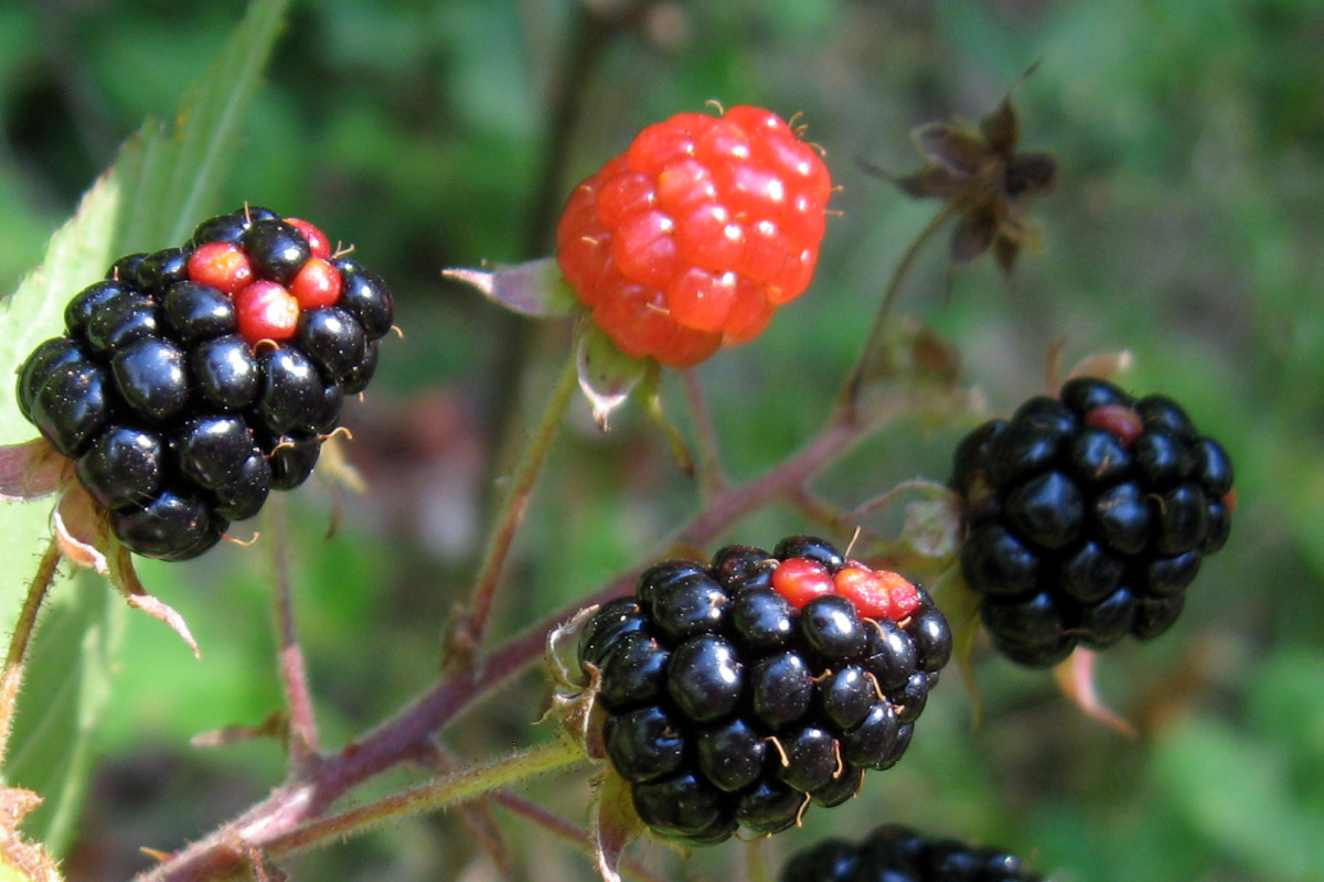 blackberries red and black
