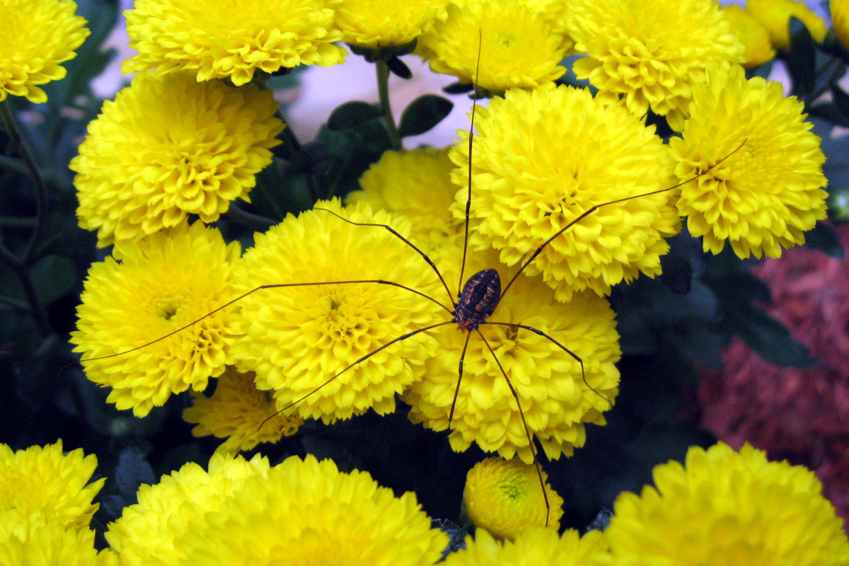 For a little extra interest, this flower photo has a daddy long-legs spider.