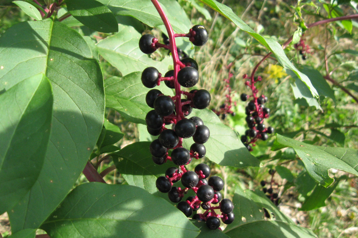 These are elderberries. Don't eat them.
