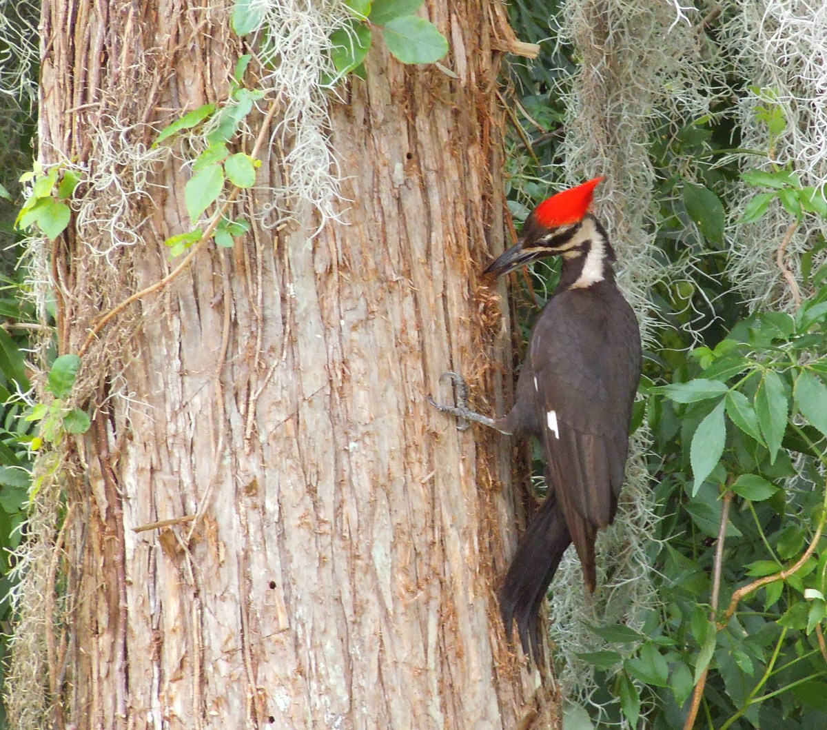 The photo of a pileated woodpecker was taken in Central Florida.