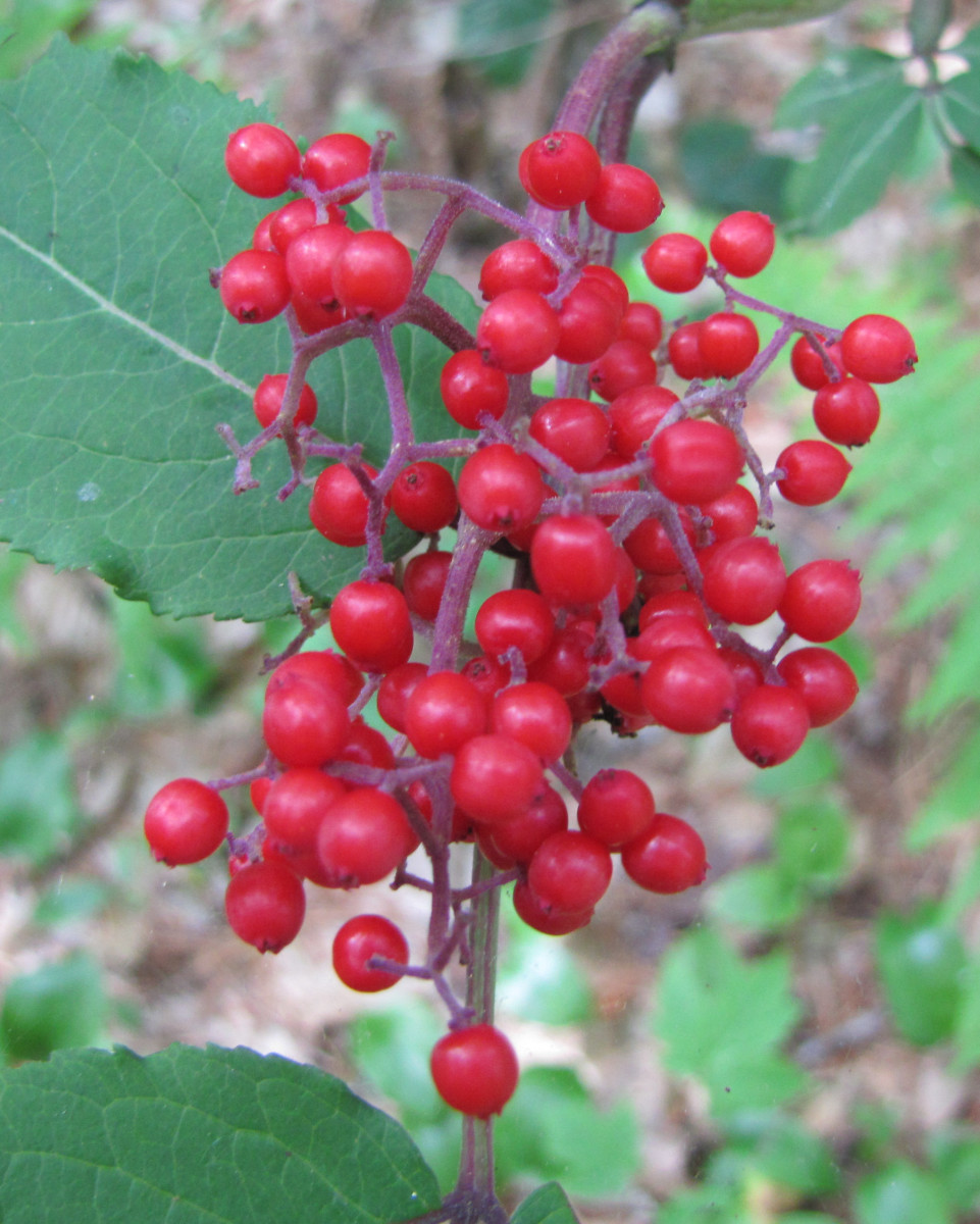 Red berries in the fall to photograph.