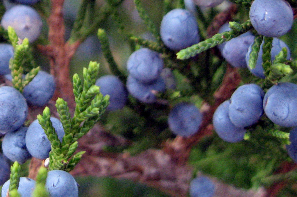 Berries on a Kansas cedar tree.
