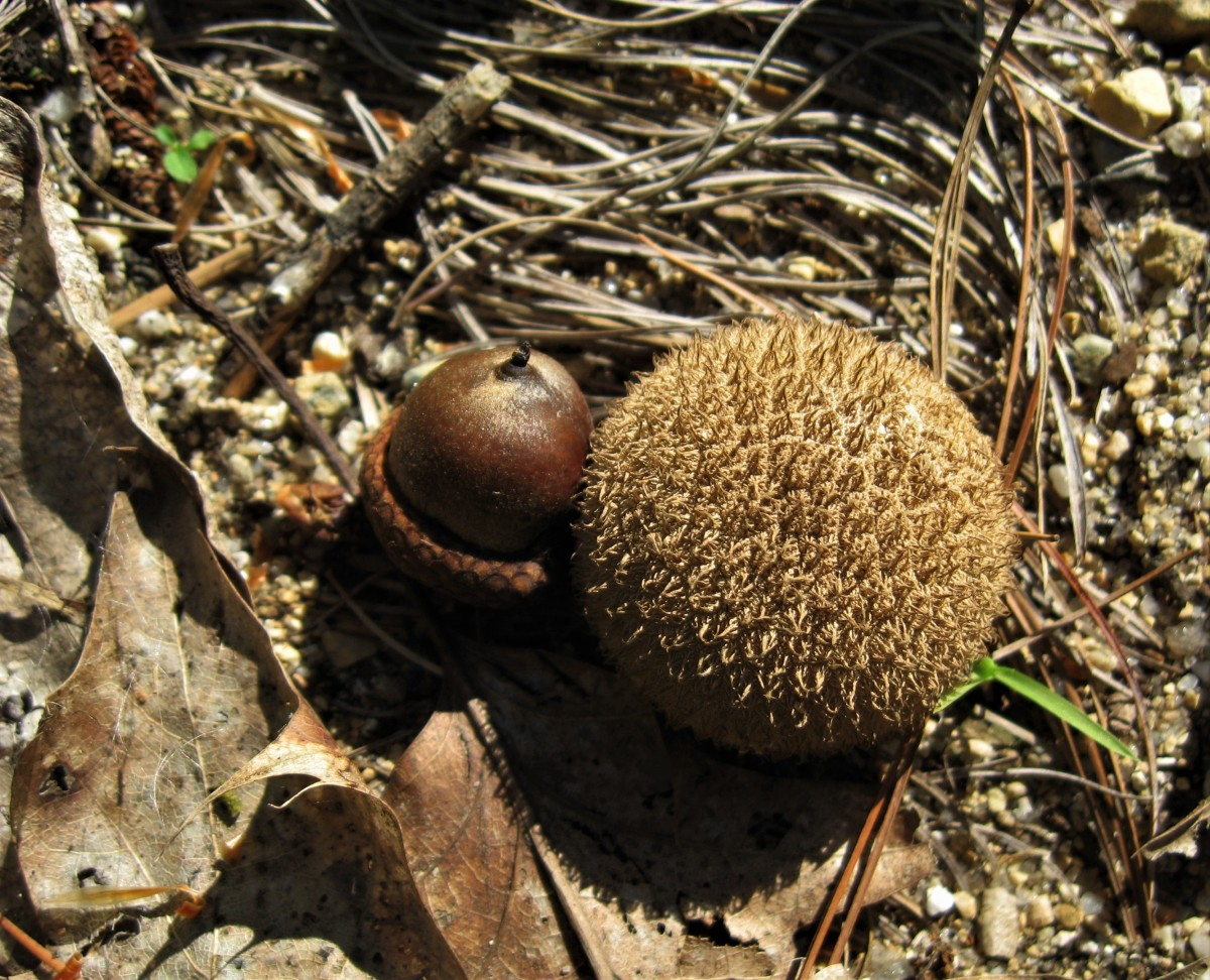 An acorn nestled next to a sycamore seed pod.