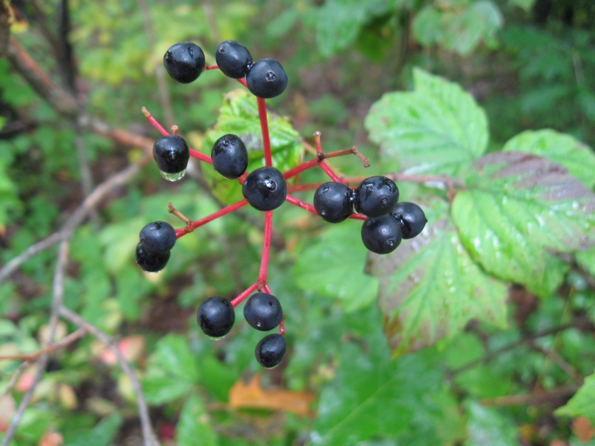 I liked the red stem on this cluster of berries.