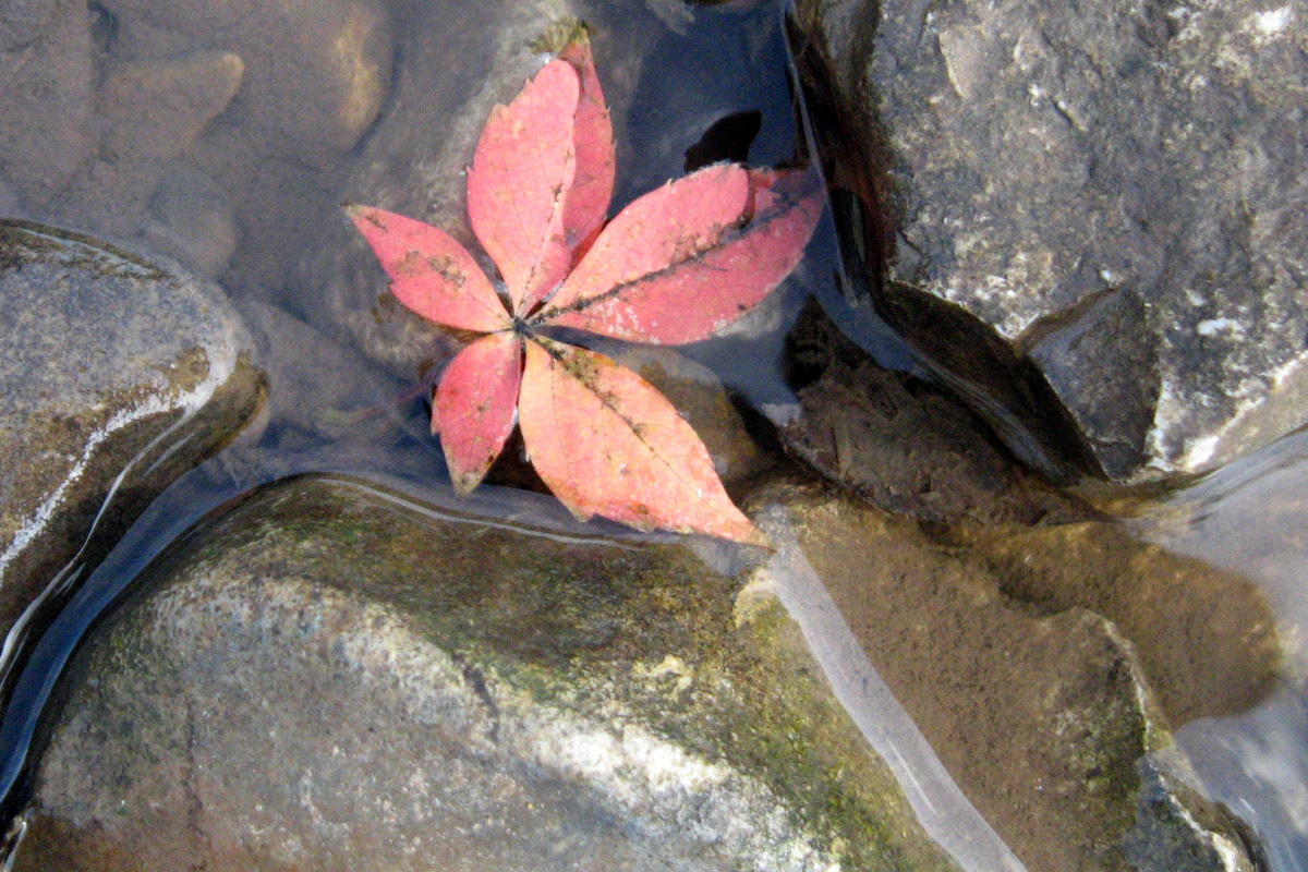 A leaf being swept along by the current in a stream.