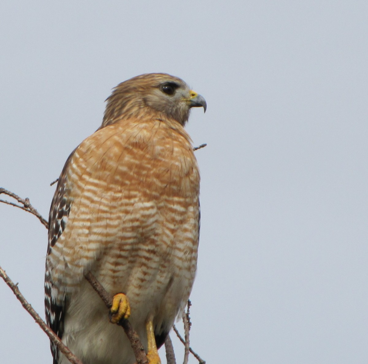 A red shouldered hawk in Florida.