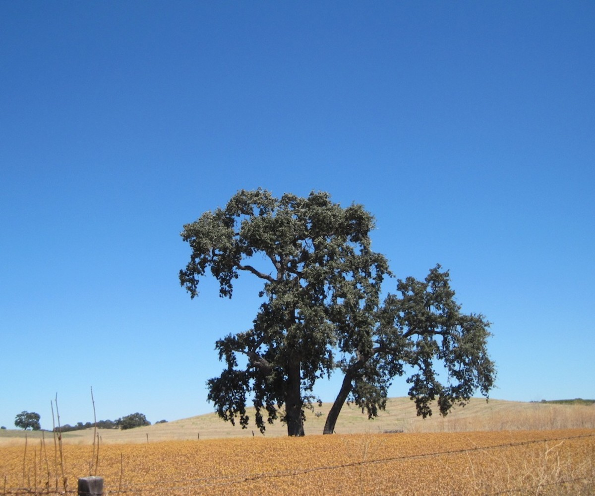 This tree lives in a meadow near Pomar Junction Tasting Room and Vineyards. The picture was taken in August during the dry season.