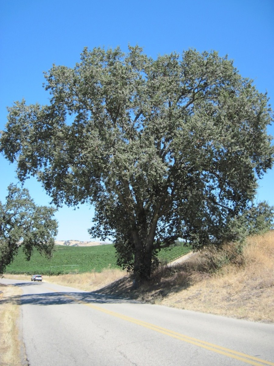 Another large oak hovering over a vineyard in August