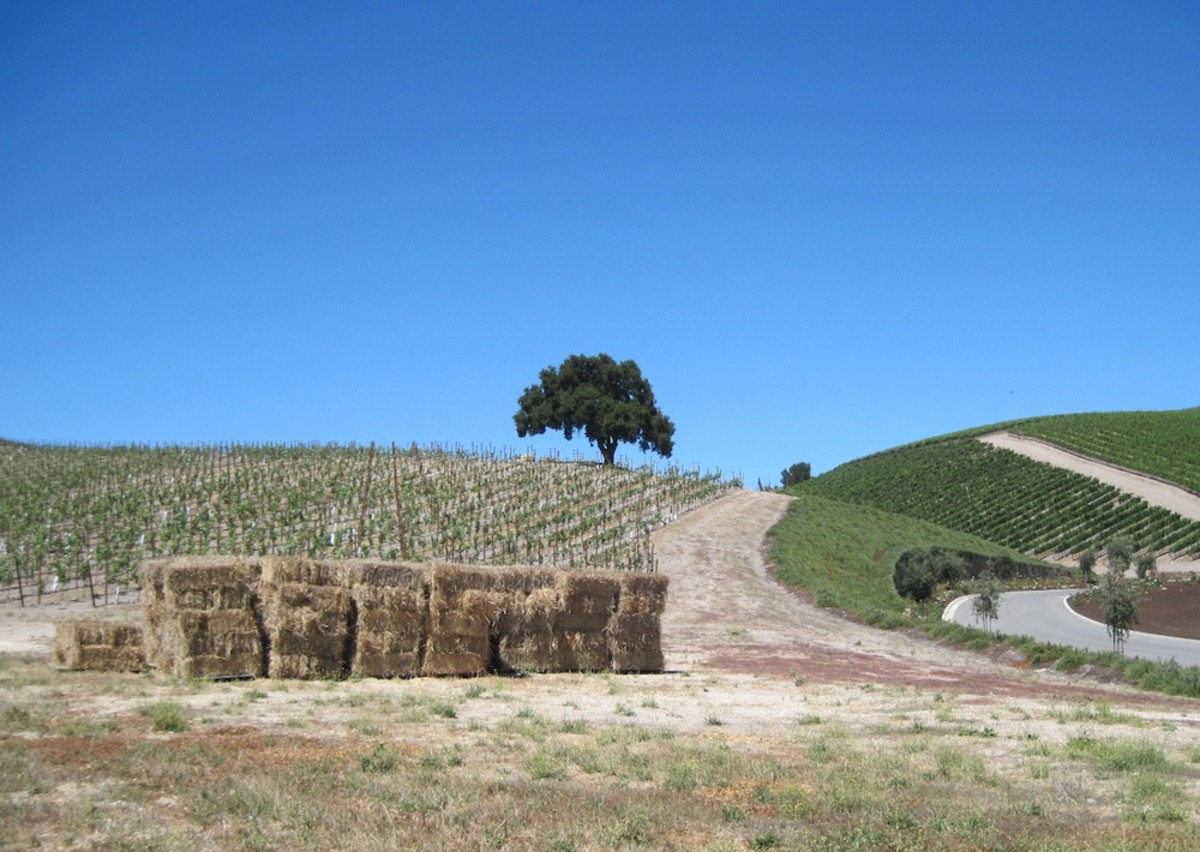 This oak sits in one of the newer vineyards behind the Niner Tasting Room in Paso Robles, California.