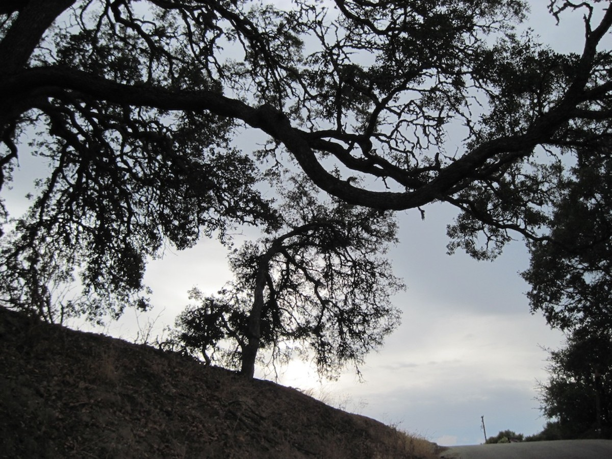 This small mishapen oak in the center is framed by the branches of a much larger cousin. This is another Arbor Road scene,