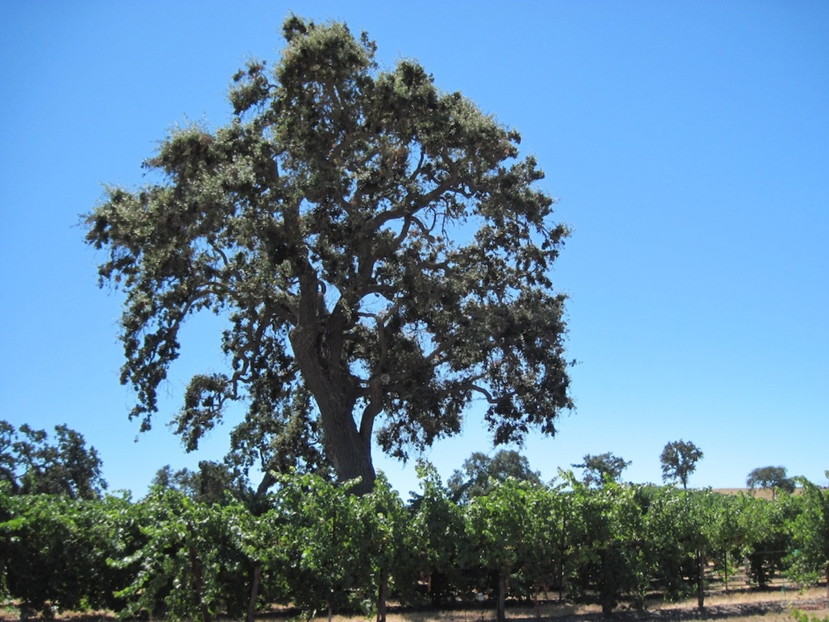 This is just one of the many oaks in the vineyards at Pomar Junction in Templeton, California