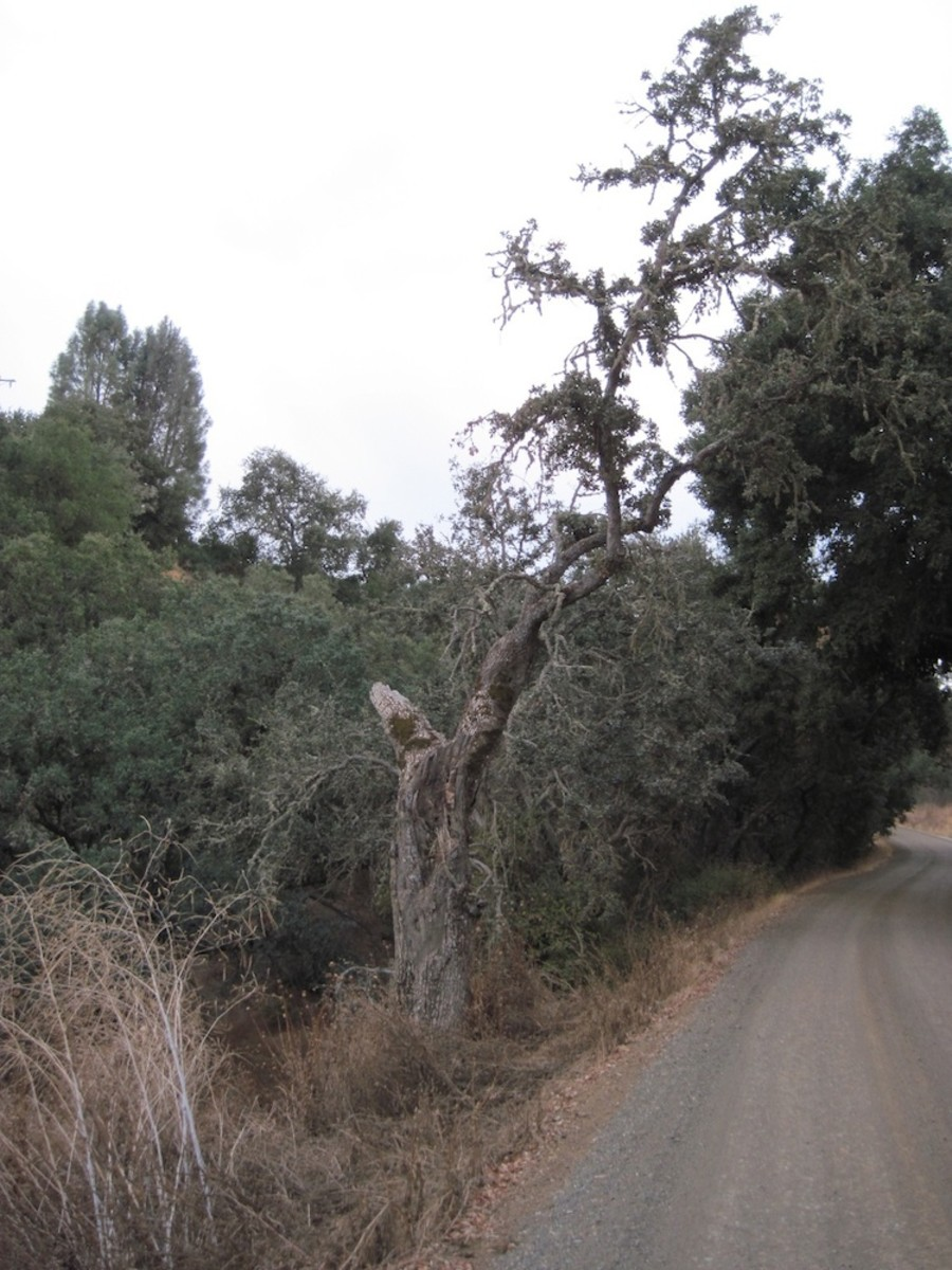 "This is another ""broken"" tree that lives on Arbor Road in Paso Robles."