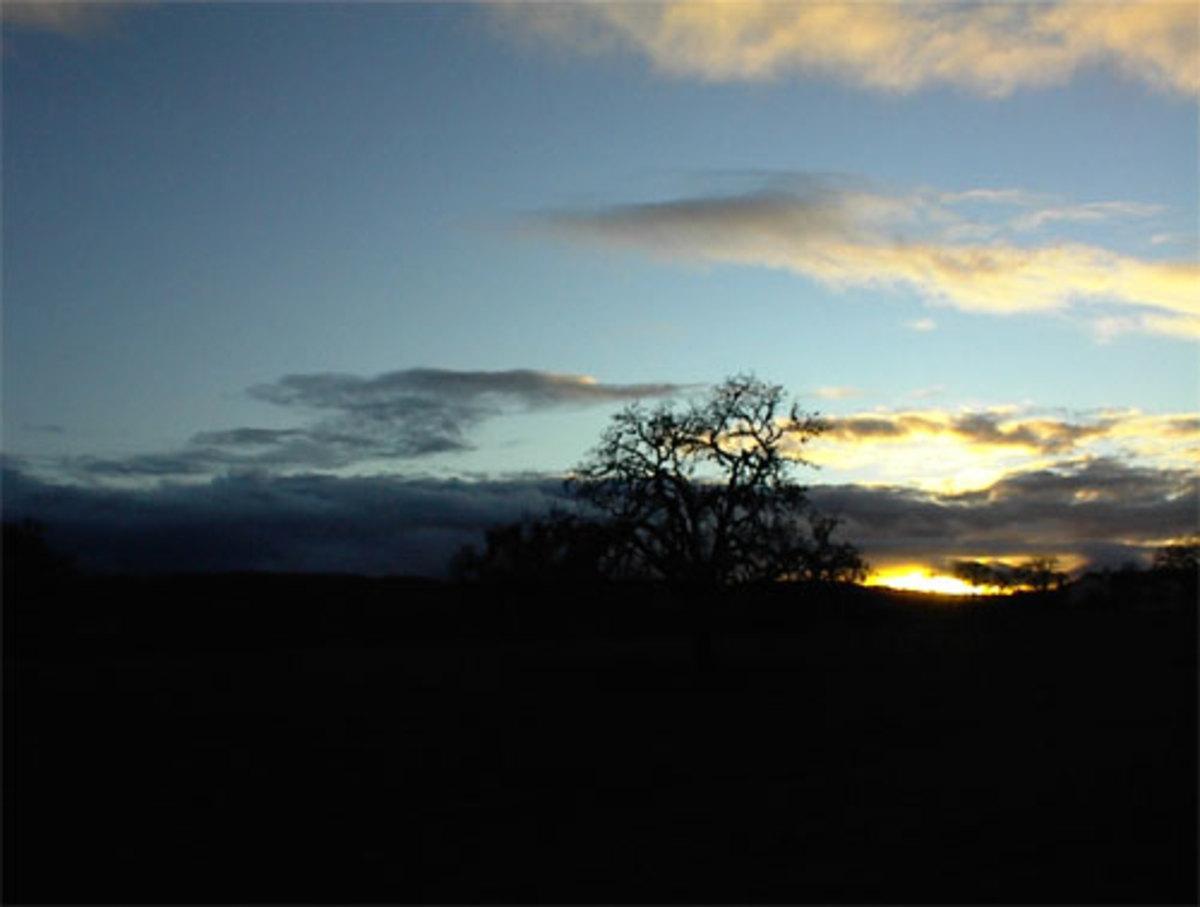 Oak in Templeton sunset.