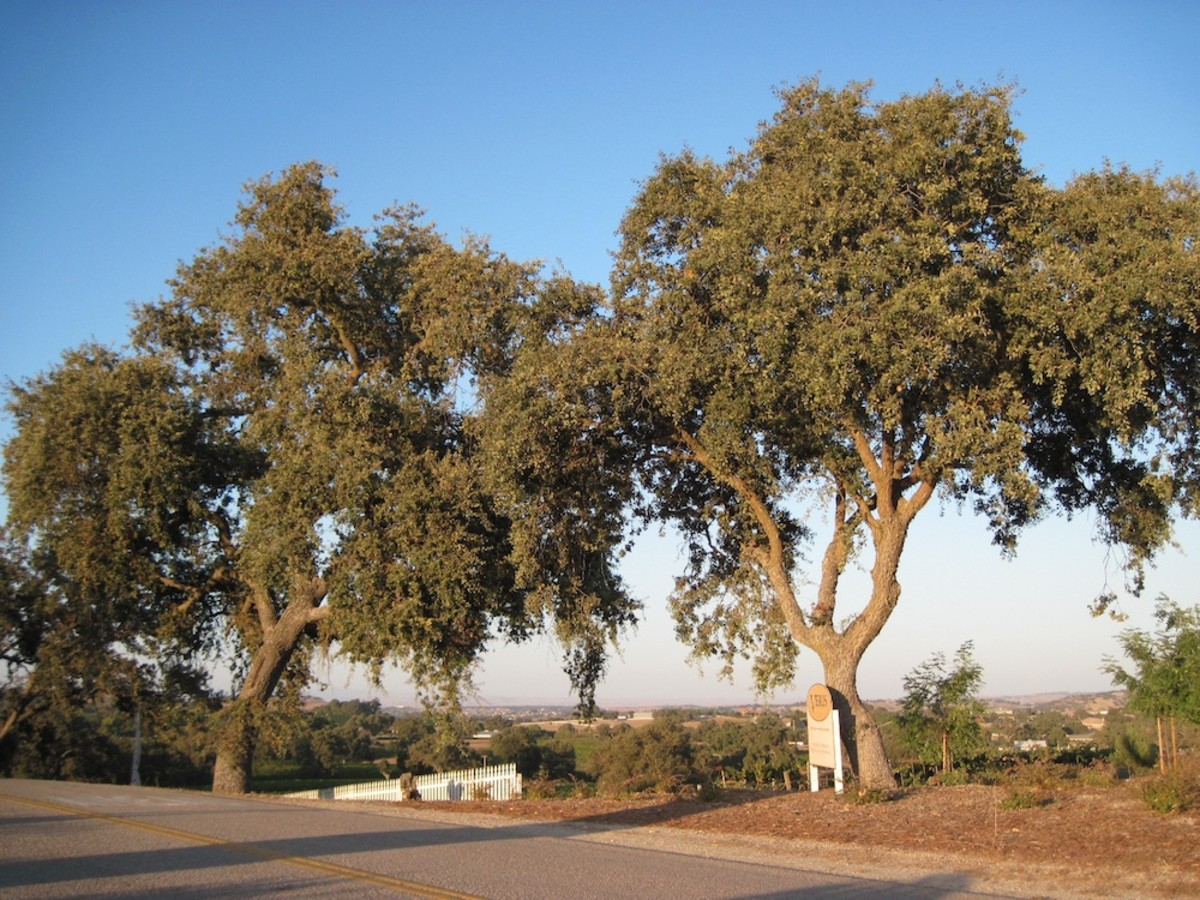 These oaks are some of many which line the streets of Bethel Road in Templeton between Highway 46 West and Las Tablas Road.