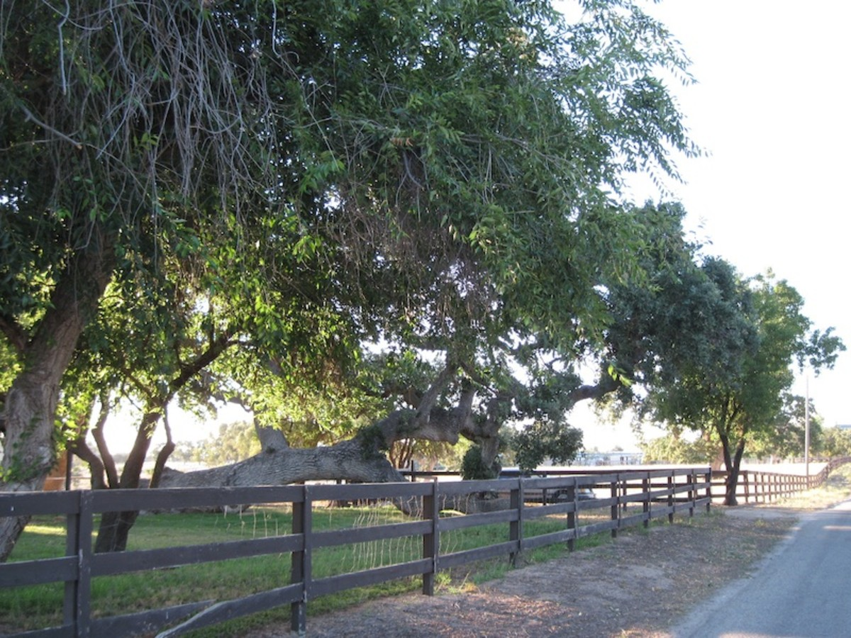 This tree was the first I'd ever seen growing parallel to the ground. A friend told me this can happen when the wind blows a young tree down and it just continues to grow that way. This tree can be seen along the Union Road Wine Trail in Paso Robles.