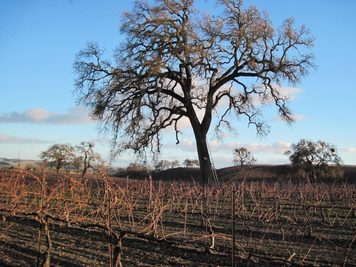 This oak tree sits in the middle of a vineyard near Peachy Canyon Tasting Room in Templeton, California. It was taken in winter.