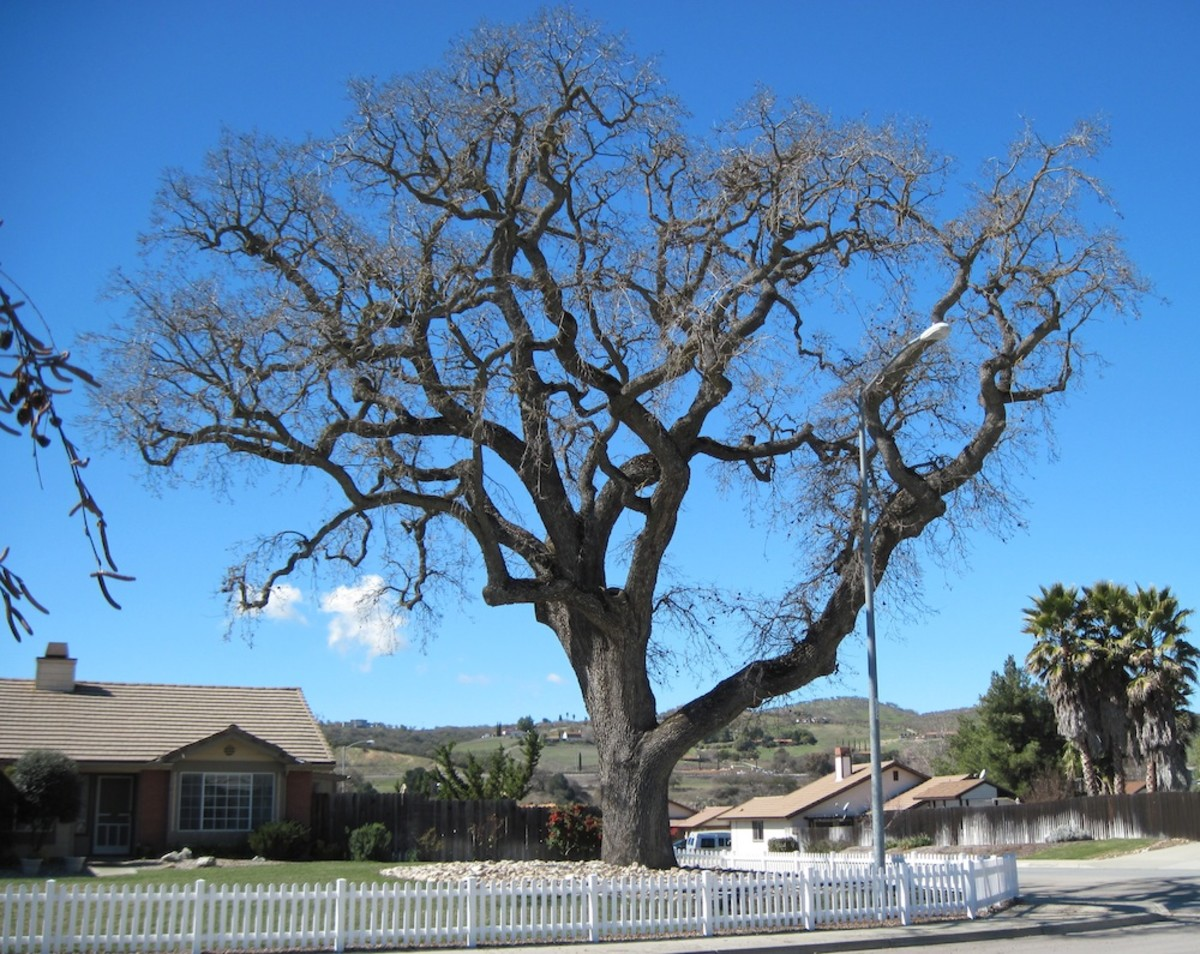 This oak is about three times the height of the house it's next to. It lives across the street from my mom's house in the Riverbank Tract in Paso Robles. It is February, so it has lost its leaves.