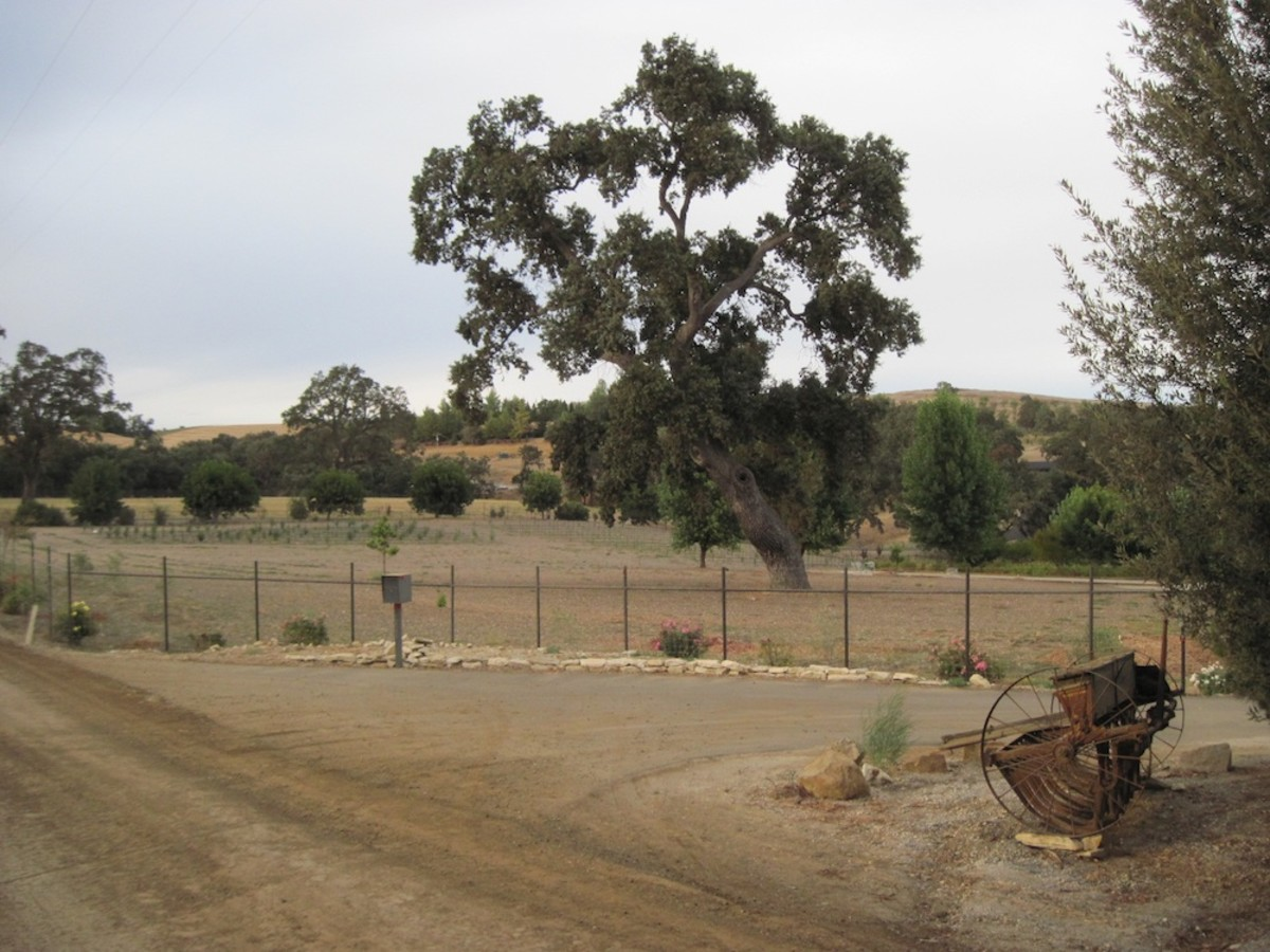 Another Arbor Road Oak