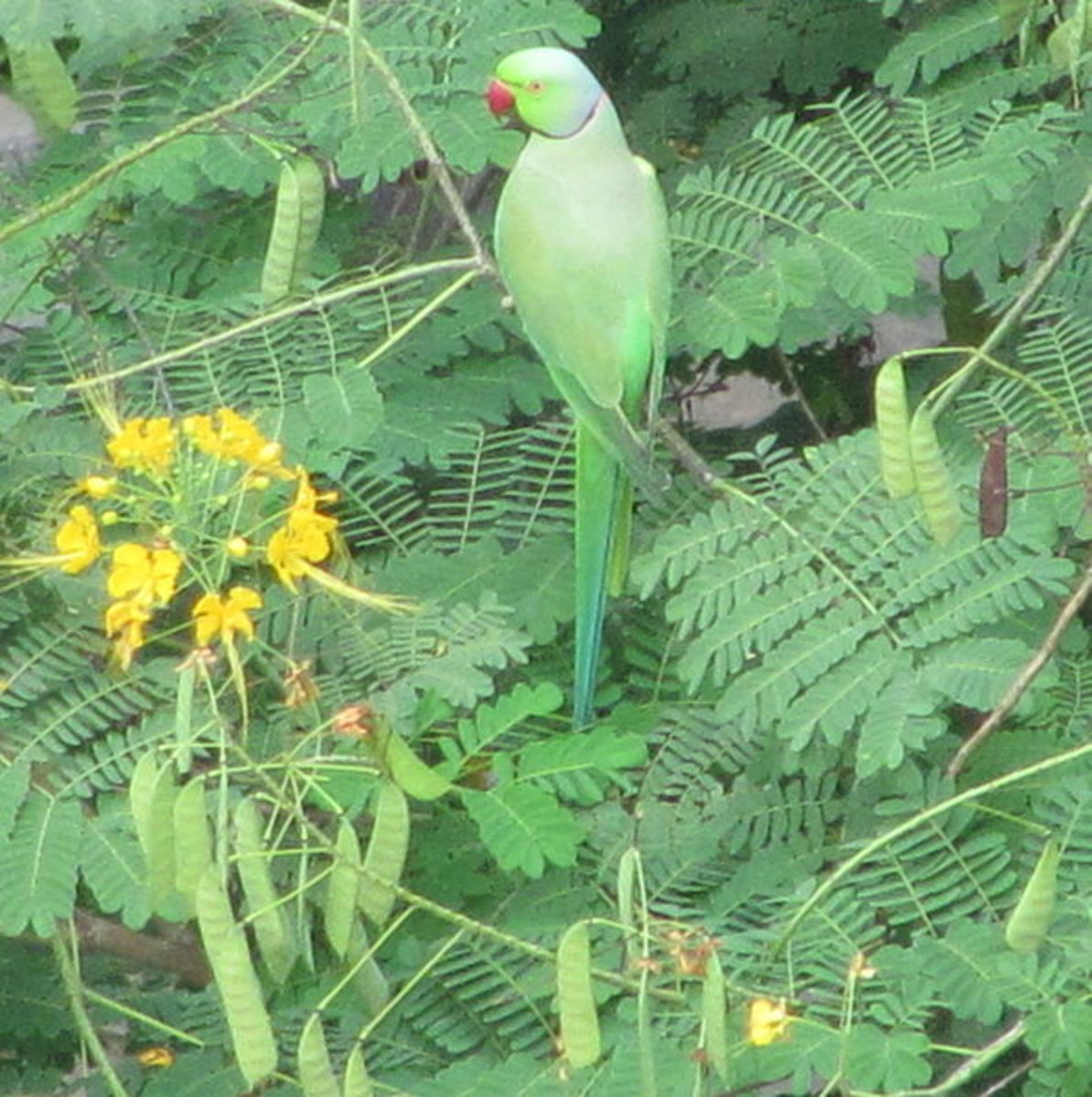 A Parakeet In The Wild In India