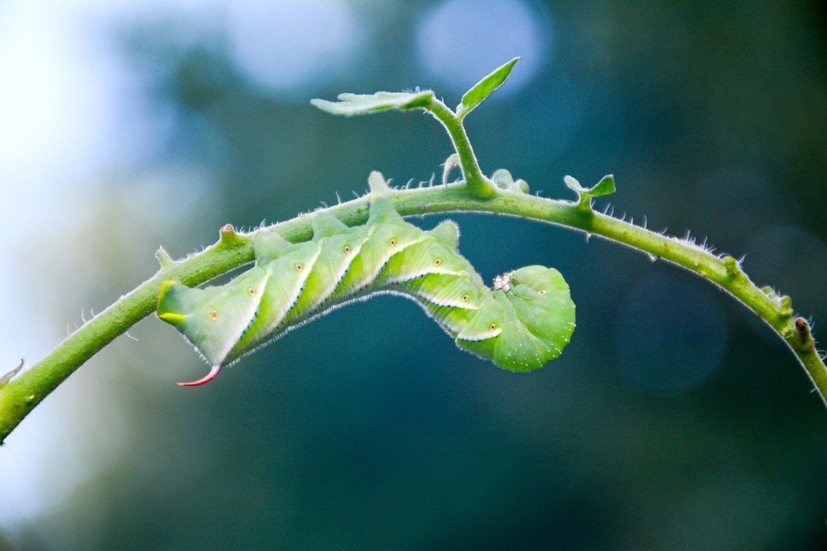 Tomato Hornworm Caterpillar Identification and Control