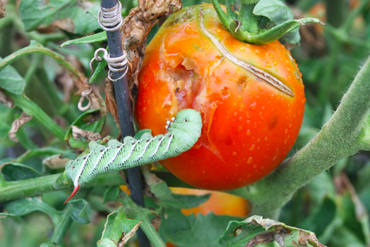 tomato-plant-caterpillars