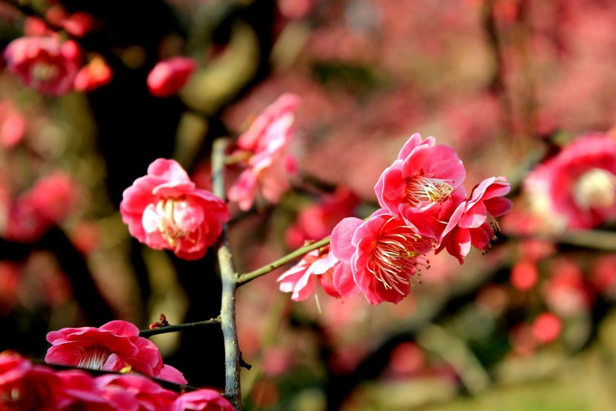 Plum blossoms, Chinese New Year symbol of courage