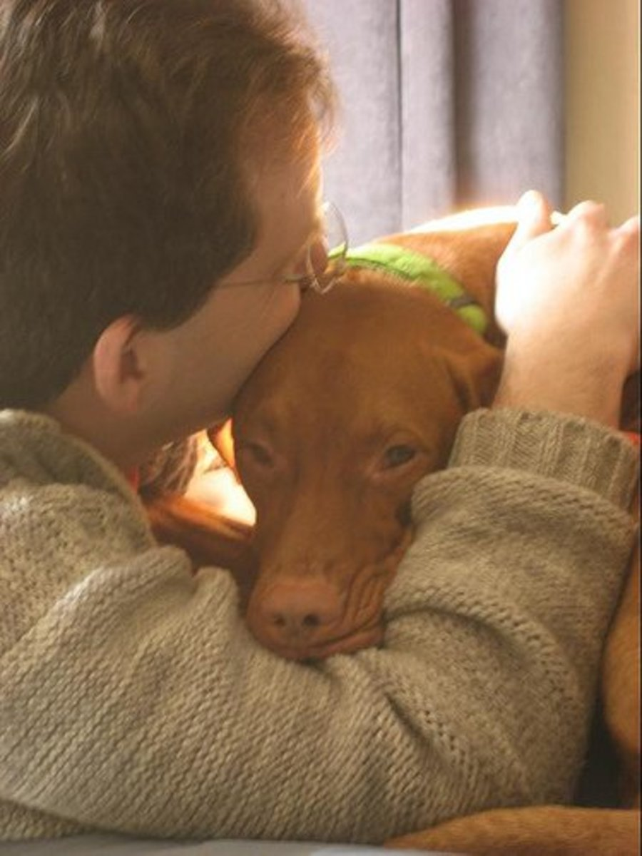 "Vizslas are ""velvro dogs,"" meaning that they can never get enough time cuddling with their owners. They are super affectionate. Luckily, though, they don't smell bad because of their short coat! You wouldn't want a stinky dog all over you!"