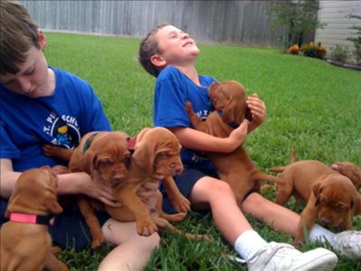 Vizslas are amazing with young children! They don't have any dominance issues.