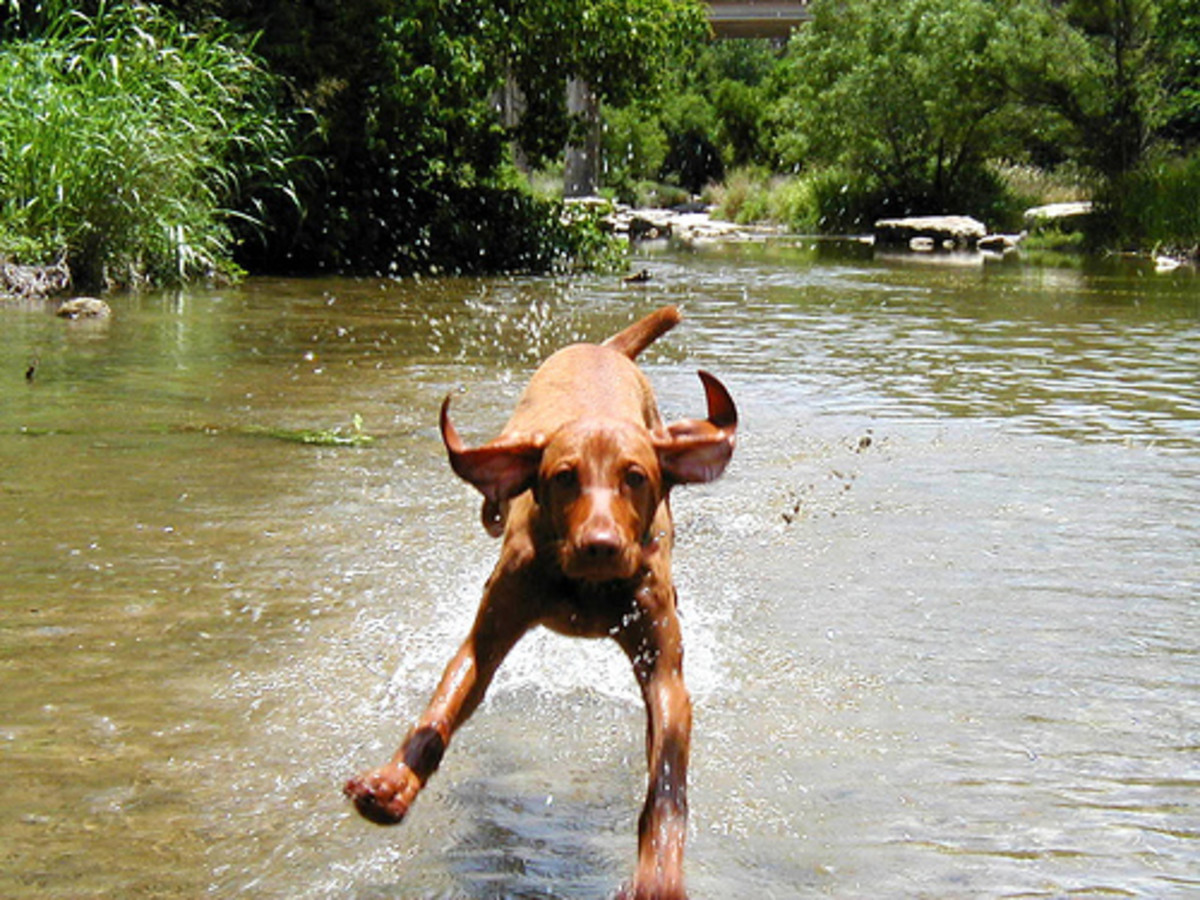 Vizslas are very playful and love running around in the great outdoors. They work best with active owners.