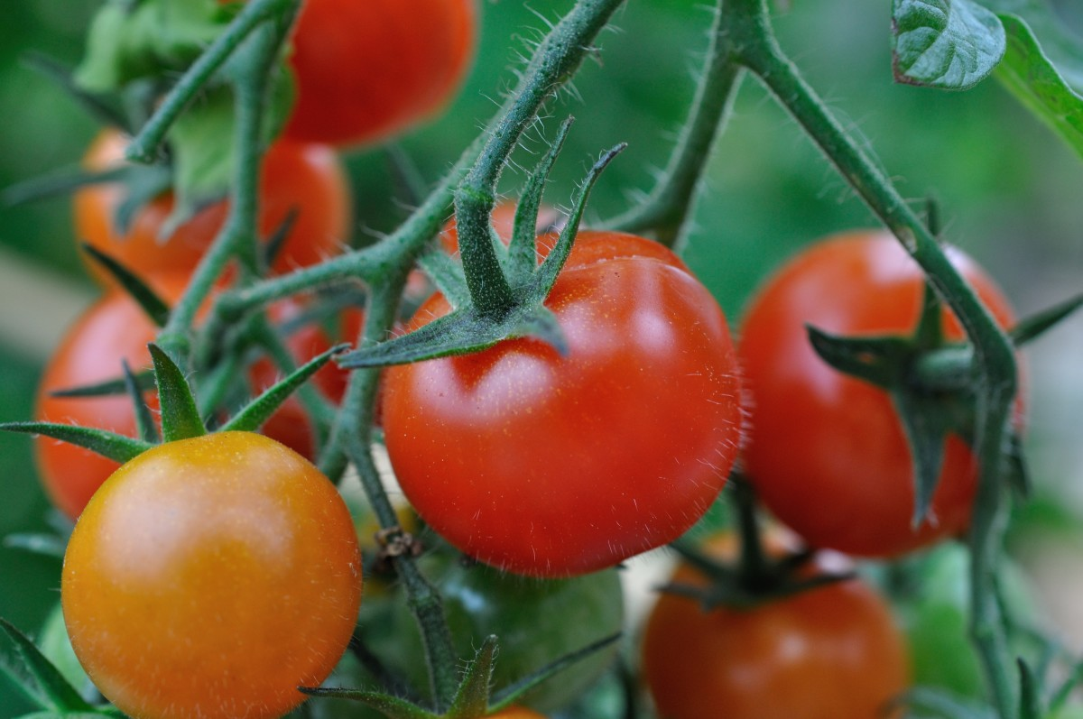 Tomatophagia: Craving for Tomatoes