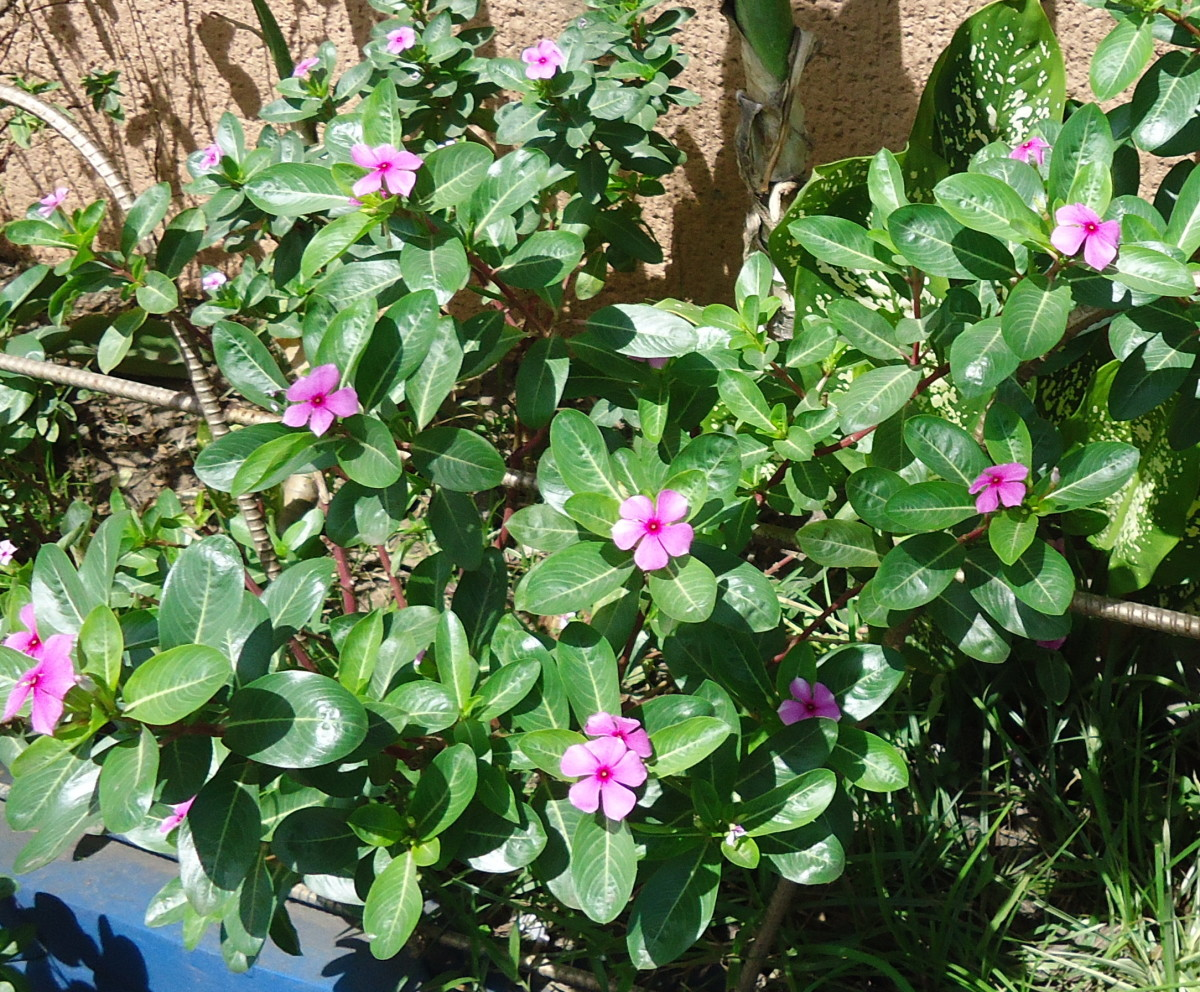 Herbs like Chichirica (Pink Periwinkle), Remedy Diabetes, also Cancer and Alzheimer's