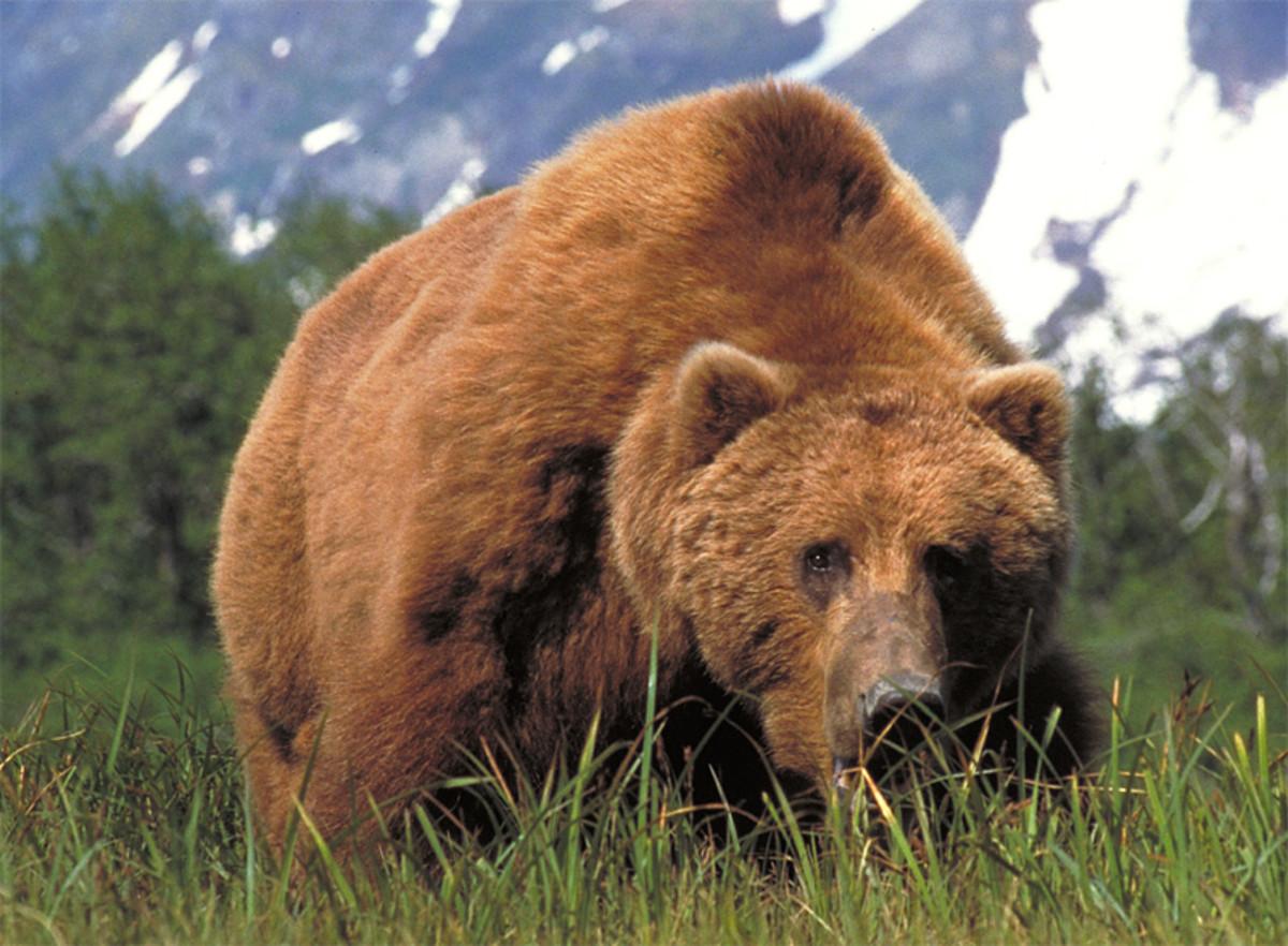 the-kodiak-bear-americas-largest-bear