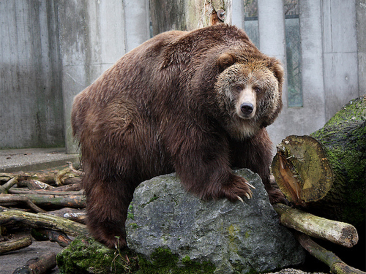 The Kodiak Bear - the Largest Bears in the United States