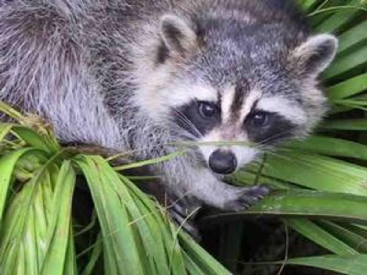I think raccoon eyes definitely look better on the raccoon!
