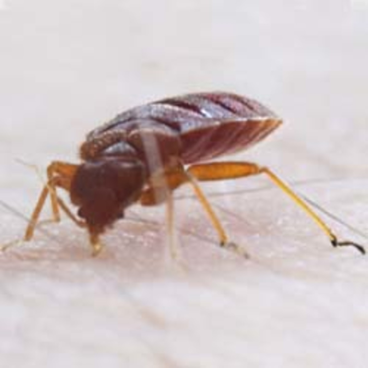 Closeup of a bedbug sucking blood