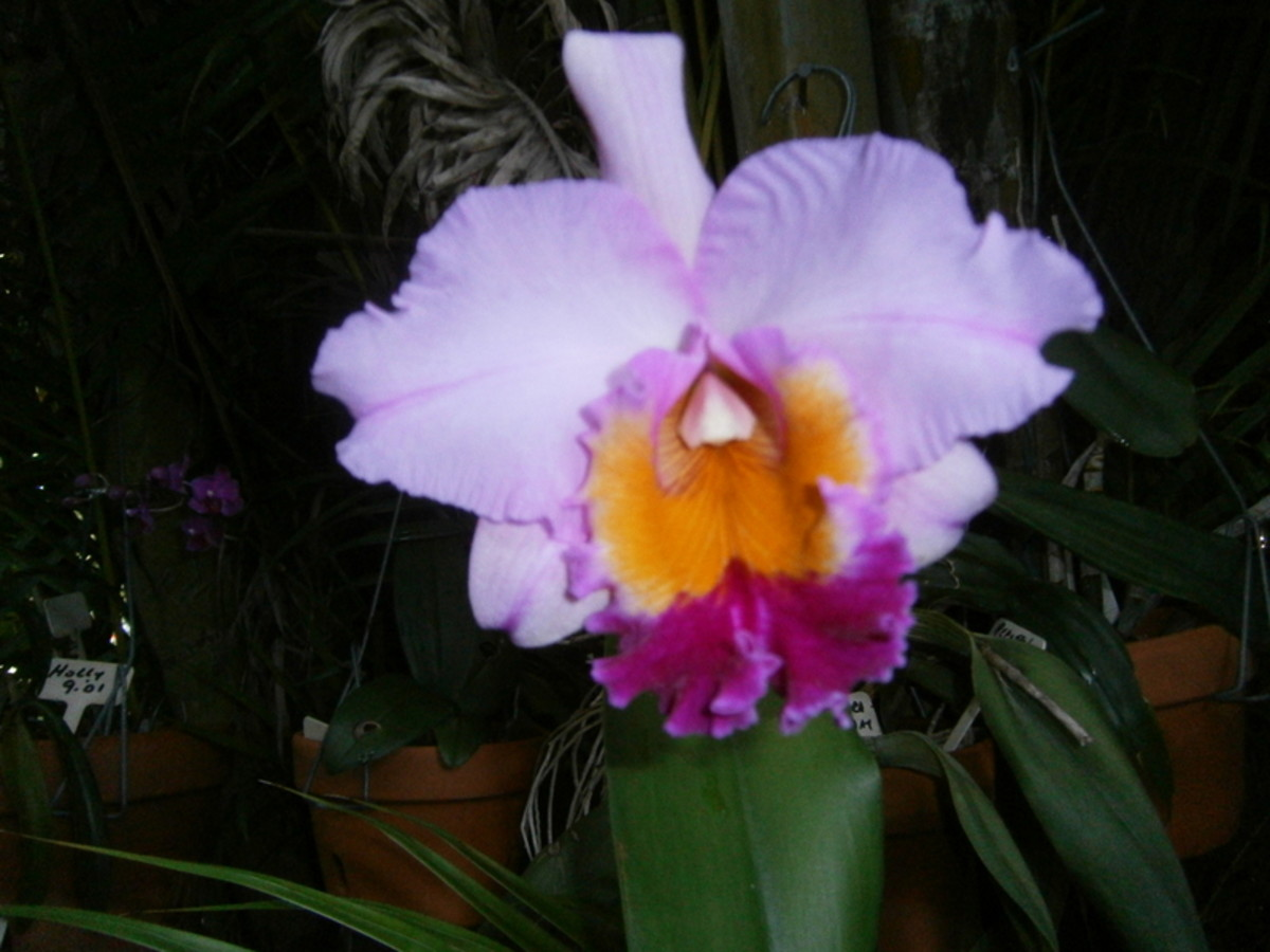 my-cattleya-orchid-from-bud-to-full-bloom