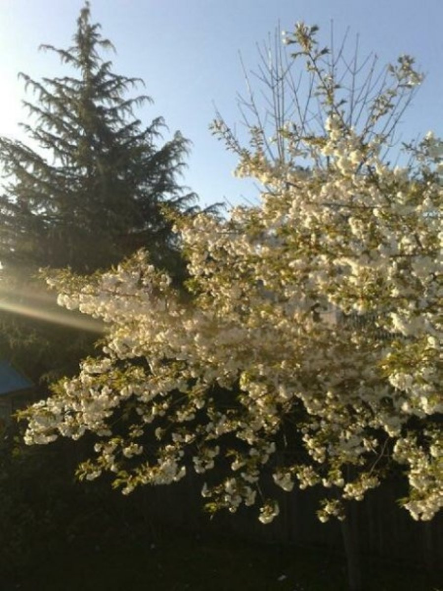 White cherry in the backyard