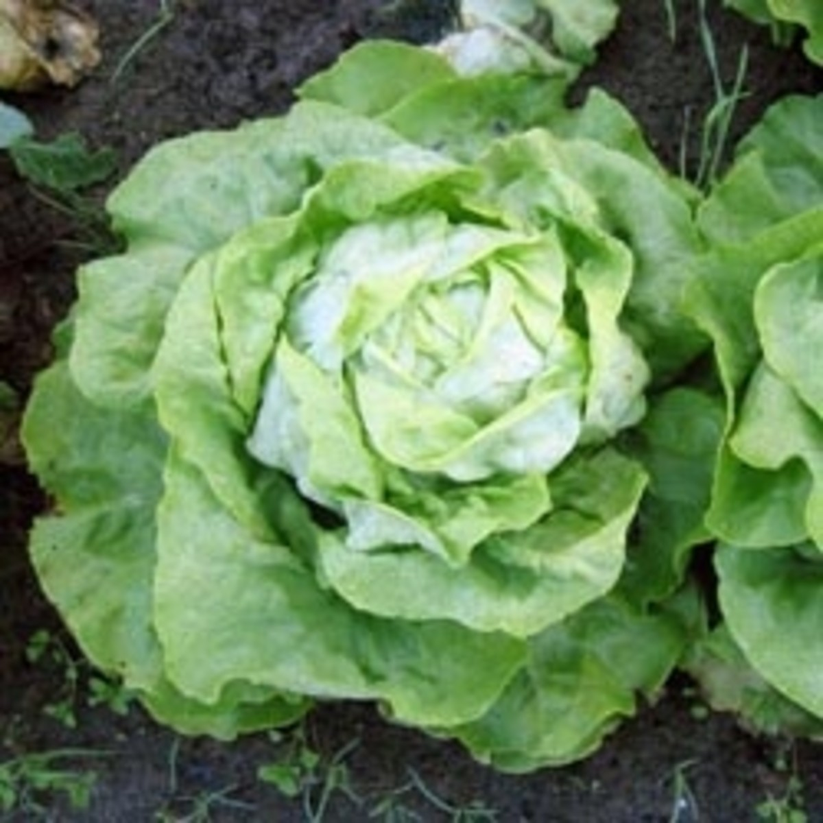 Biological control of the lettuce root aphid