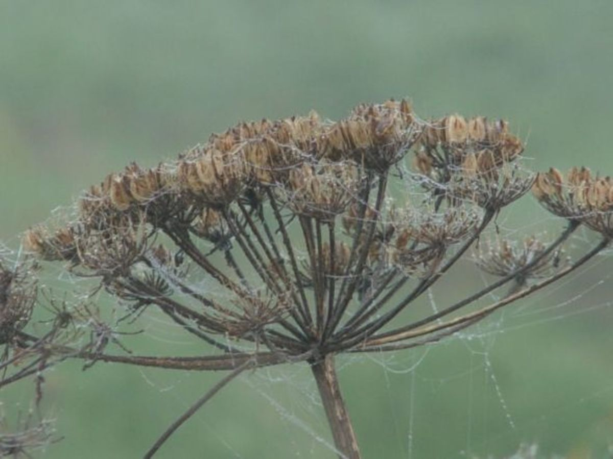 Giant Hogweed Seed in Fall Dew