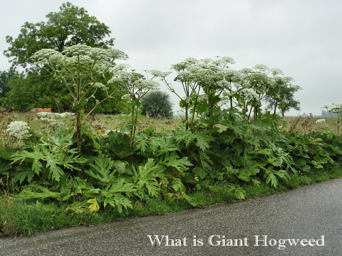What is Giant Hogweed