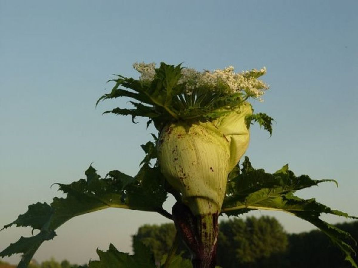 The Huge Hogweed Flower Ready to Bloom