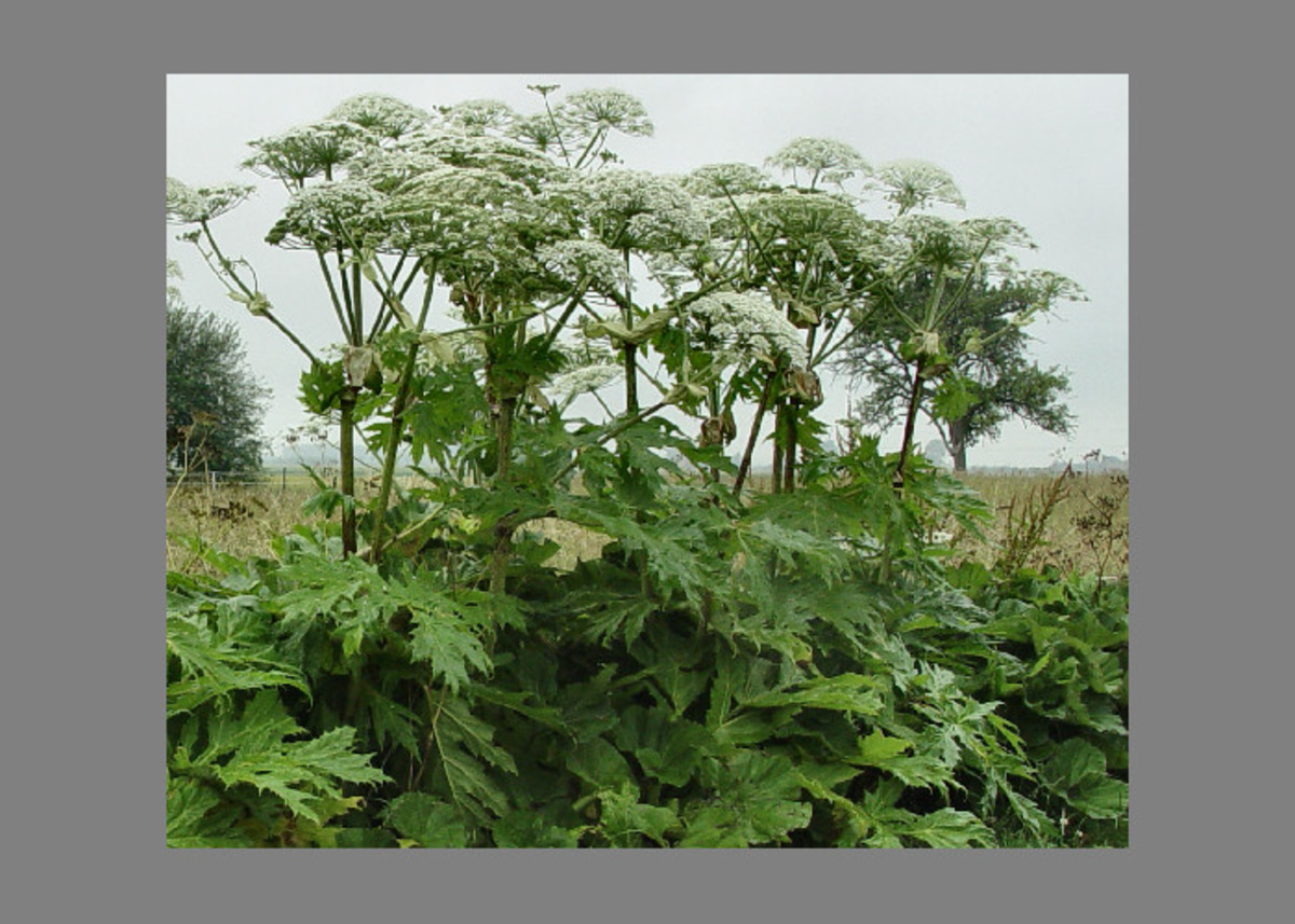 Giant Hogweed stage 4