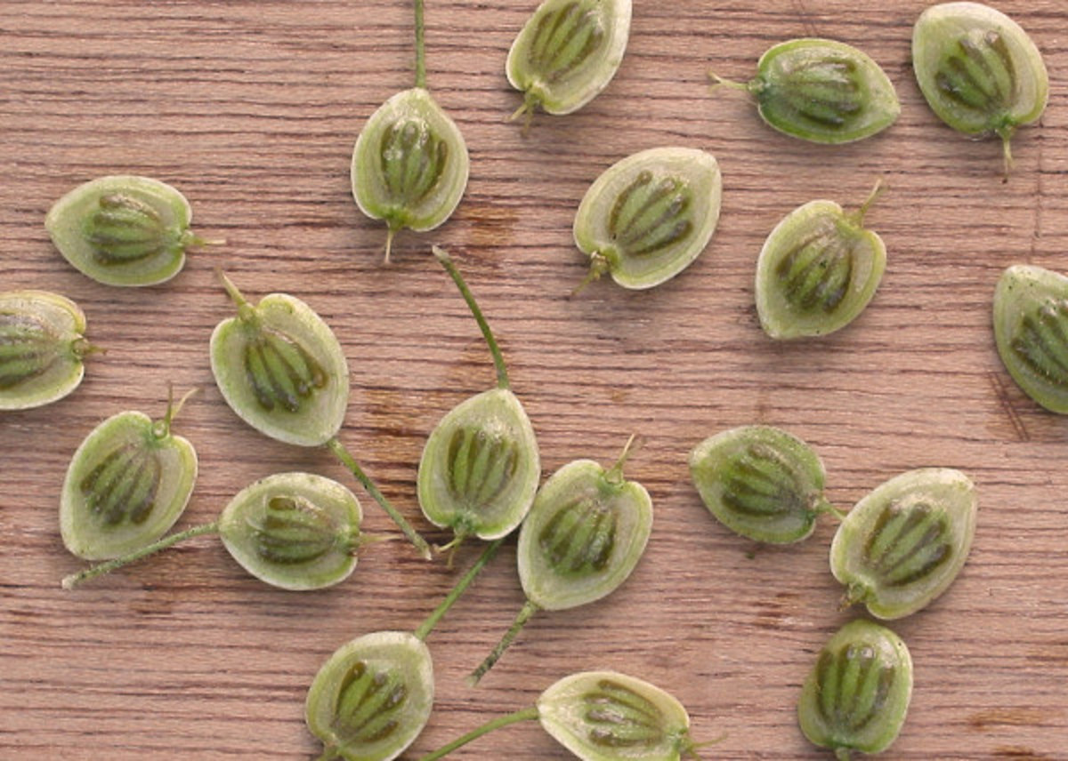 Giant Hogweed Seeds