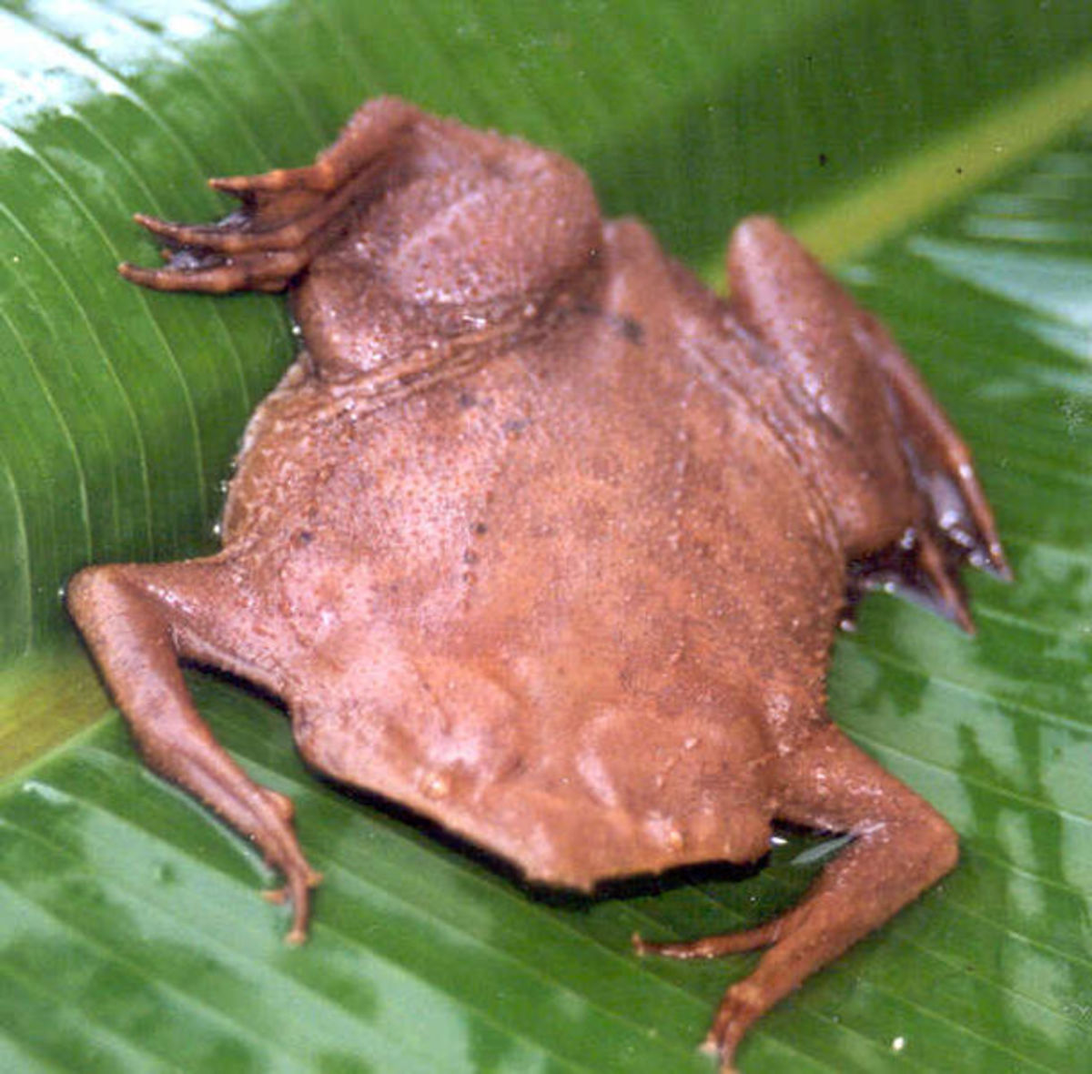 The Surinam toad must be the most bizarre looking amphibian ever!
