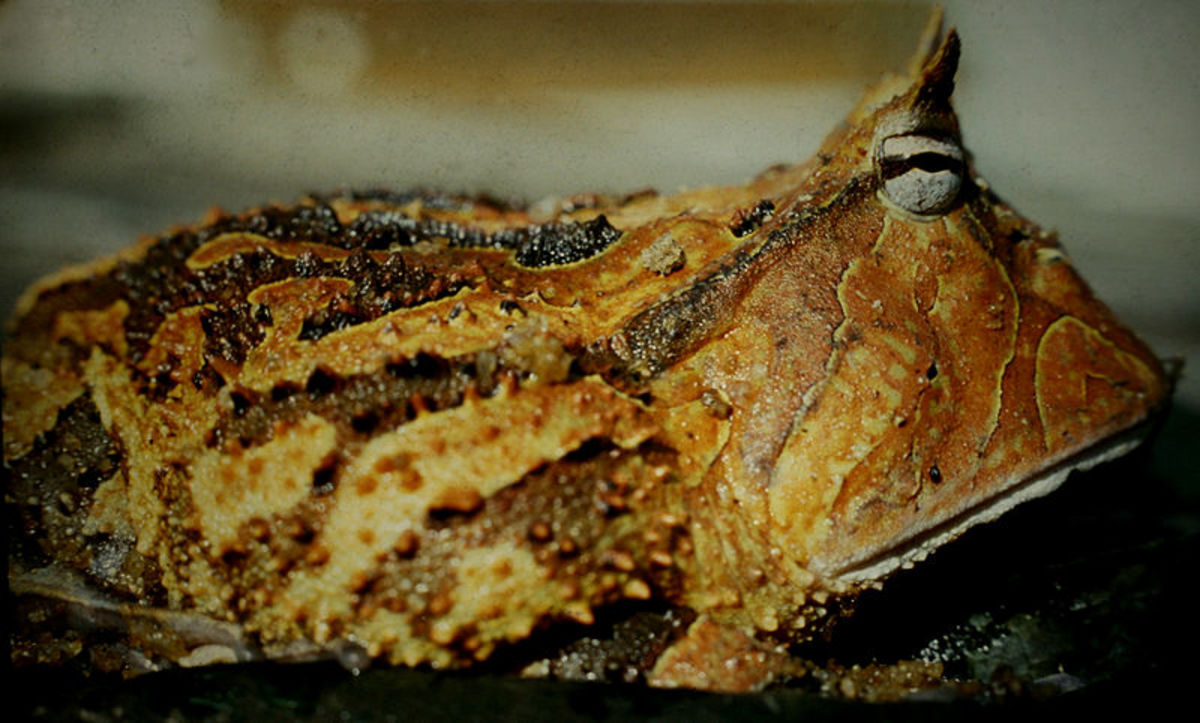 The Argentinian horned frog, Ceratophrys Cornuta