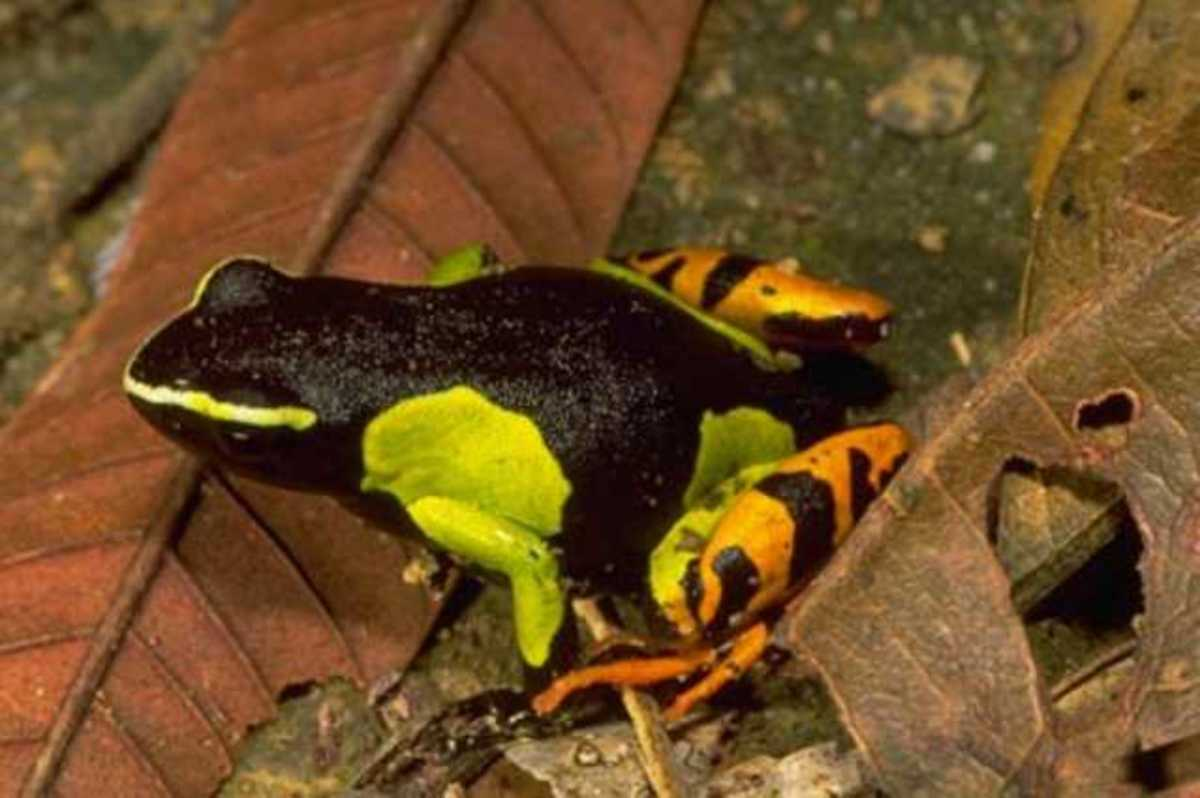 Mantellas are only found in Madagascar, but are similar to the dart frogs of the Amazon jungle.