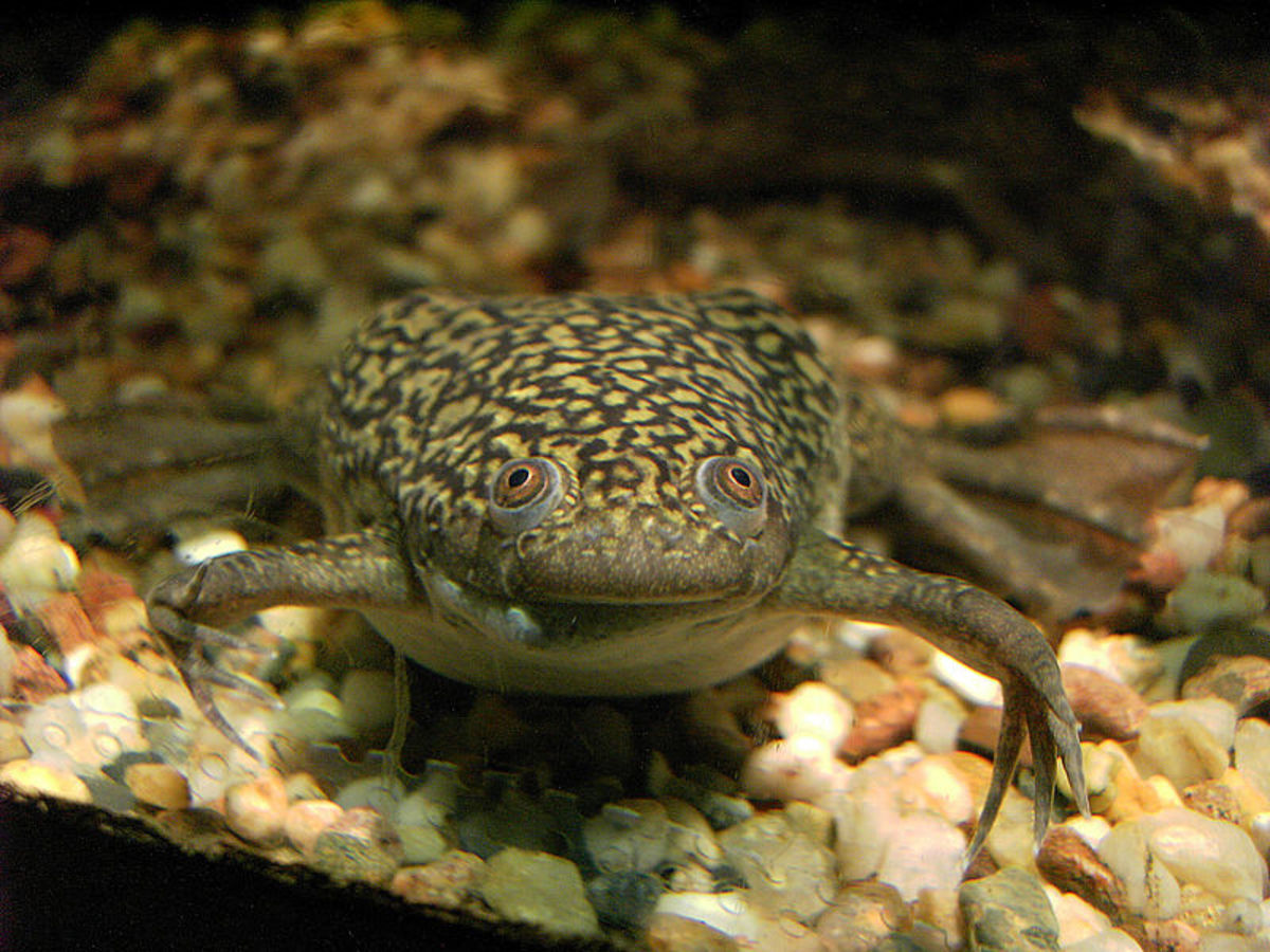 The African clawed frog, Xenopus laevis is completely aquatic