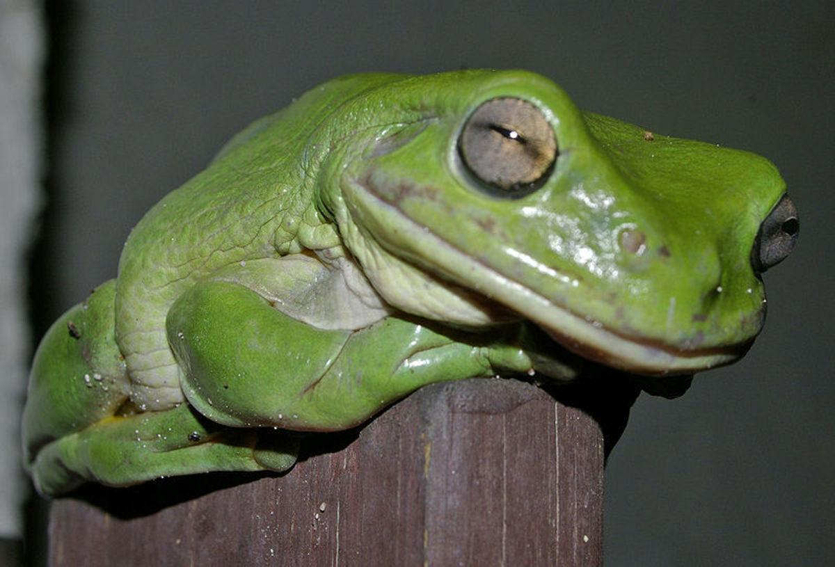 The Buddha like White's tree frog, Litoria cerulean