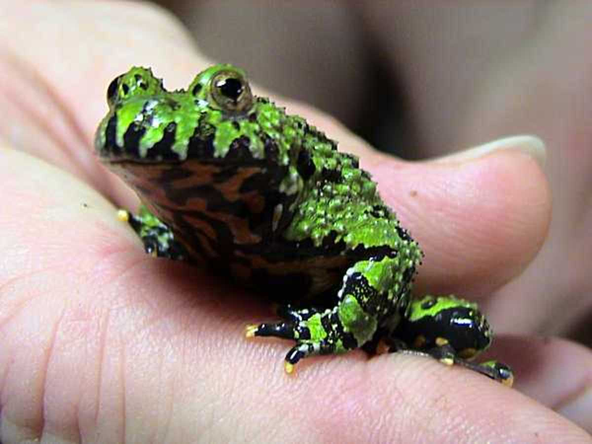 Fire bellied toads, Bombina orientalis, are actually frogs and spend a lot of time in water.