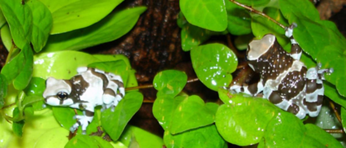 My pet Amazon milk tree frogs, Trachycephalus resinifictrix